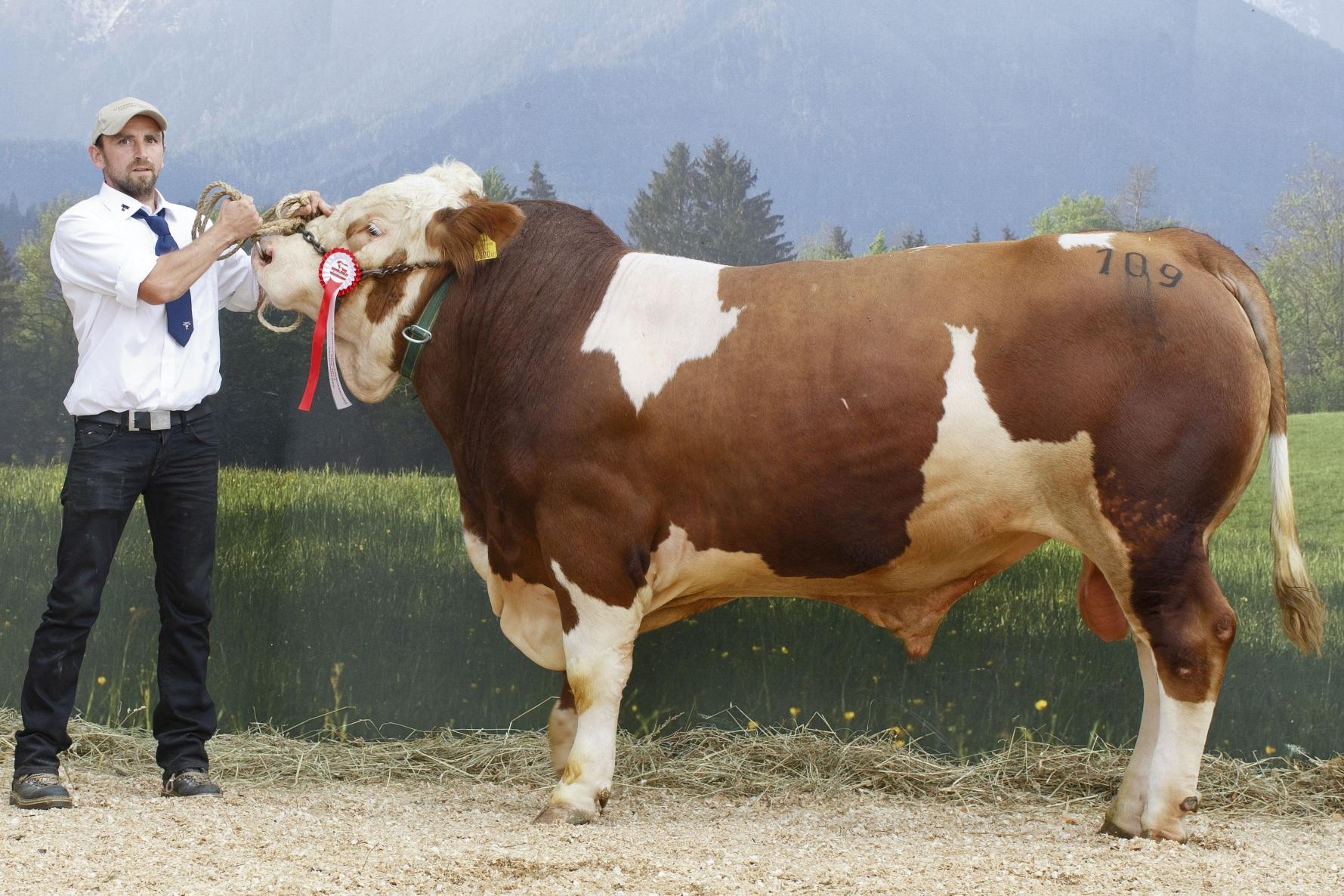 Gruppensieger sowie Gesamtreservesieger Romeo bei der Bundesfleischrinderschau 2013